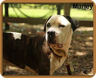 American Bulldog Mix Dog for adoption in Sarasota, Florida - Marley