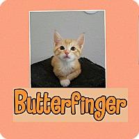 Adopt A Pet :: Butterfinger - Palmdale, CA