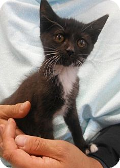 Domestic Shorthair Kitten for adoption in Reston, Virginia - Leigh