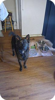 Australian Shepherd Dog for adoption in Phoenix, Arizona - Willow