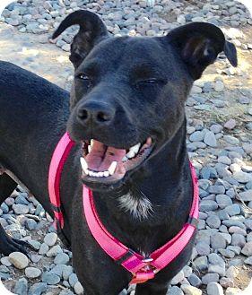Labrador Retriever/Terrier (Unknown Type, Medium) Mix Dog for adoption in Phoenix, Arizona - Star