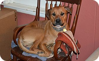 Rhodesian Ridgeback Mix Dog for adoption in Fort Worth, Texas - Miss Piggy