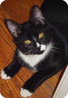 Domestic Shorthair Kitten for adoption in Kensington, Maryland - Skippy