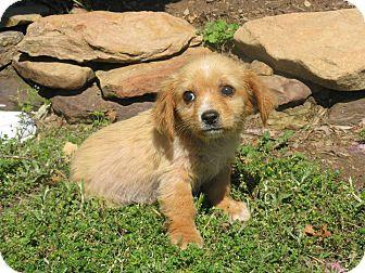 Golden Retriever/Shepherd (Unknown Type) Mix Puppy for adoption in Stilwell, Oklahoma - Sadie