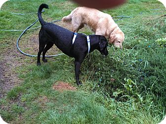 Labrador Retriever Dog for adoption in Gig Harbor, Washington - Maisy