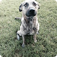 German Shepherd Dog/Catahoula Leopard Dog Mix Dog for adoption in Rayville, Louisiana - Lady