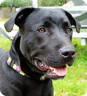 Labrador Retriever Mix Dog for adoption in Bulverde, Texas - James