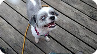 Shih Tzu/Bichon Frise Mix Dog for adoption in Detroit, Michigan - Frankie-Adopted!