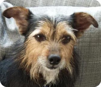 Yorkie, Yorkshire Terrier/Chihuahua Mix Dog for adoption in Lexington, Kentucky - Brutus
