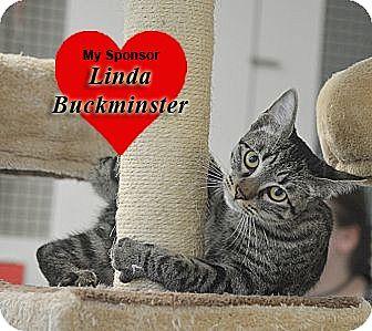 Domestic Shorthair Kitten for adoption in San Leon, Texas - Dobby