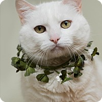 Adopt A Pet :: Snowflake - Dublin, CA