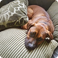Bullmastiff/Great Dane Mix Puppy for adoption in Maple Valley, Washington - Boson