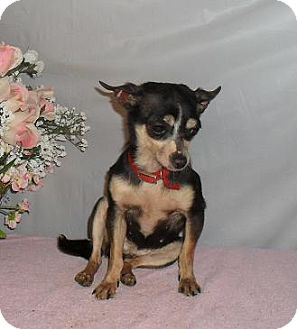 Chihuahua Dog for adoption in Chandlersville, Ohio - Tinker Bell