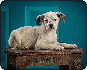 Boxer/Labrador Retriever Mix Puppy for adoption in Owensboro, Kentucky - Winnie