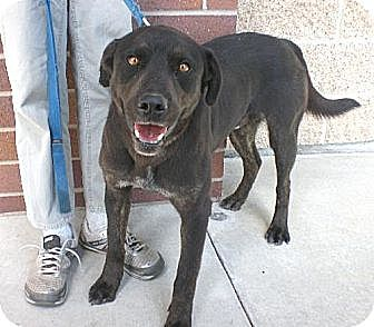 Labrador Retriever/Rottweiler Mix Dog for adoption in Logan, Utah - Tuff