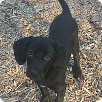 Adopt A Pet :: Wasabi - Staunton, VA