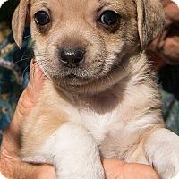 Adopt A Pet :: Puppies - Grass Valley, CA