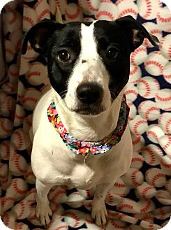Terrier (Unknown Type, Medium) Mix Dog for adoption in Cleveland, Ohio - Eva Gabor