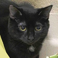 Domestic Mediumhair Cat for adoption in Hampton Bays, New York - RAVEN