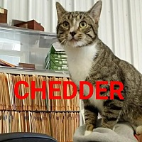 Adopt A Pet :: Chedder - Colfax, IL