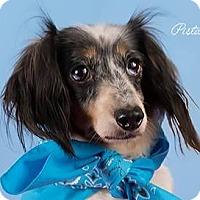 Adopt A Pet :: Pistache is Reserved. - Kirkland, QC