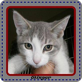 Domestic Shorthair Cat for adoption in Ortonville, Michigan - Winger