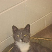 Adopt A Pet :: Whiskers - Muscatine, IA