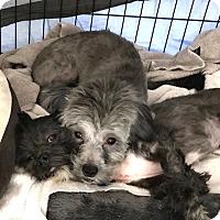 Adopt A Pet :: Lexi & Bobo PAIR - Phoenix, AZ
