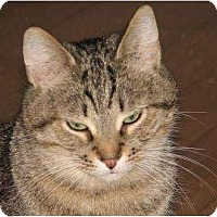 Domestic Shorthair Cat for adoption in Woodstock, Illinois - Christine