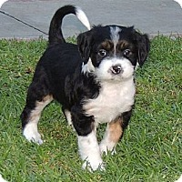 Adopt A Pet :: Kylee - La Habra Heights, CA