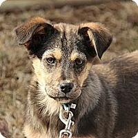 Adopt A Pet :: Chelsey - Brattleboro, VT