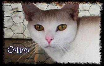 Domestic Shorthair Cat for adoption in Crandall, Georgia - Cotton