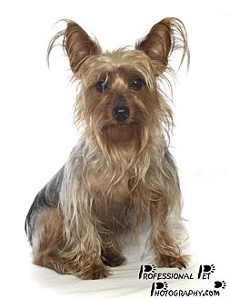 Yorkie, Yorkshire Terrier Dog for adoption in Fort Lauderdale, Florida - Jeana