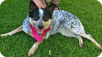 Australian Cattle Dog Dog for adoption in Woodland Hills, California - ADOPTION PENDING - Queenie