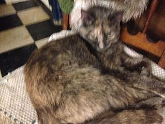 Domestic Mediumhair Cat for adoption in Fresno, California - Avalon