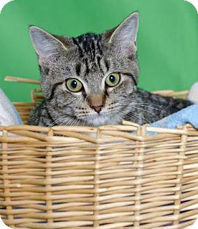 Domestic Shorthair Kitten for adoption in Gloucester, Virginia - JENAY