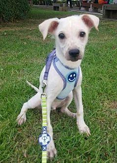 Bernese Mountain Dog/Labrador Retriever Mix Puppy for adoption in Seattle, Washington - Eddy Yenchi