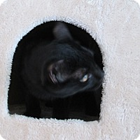 Bombay Cat for adoption in San Bernardino, California - Calo