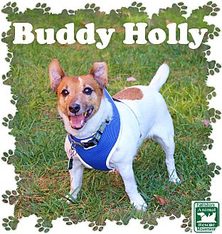 Jack Russell Terrier Mix Dog for adoption in Fallston, Maryland - Buddy Holly