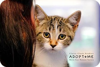 Domestic Shorthair Cat for adoption in Edwardsville, Illinois - Red