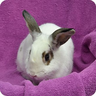 English Spot Mix for adoption in Wheaton, Illinois - Snowball