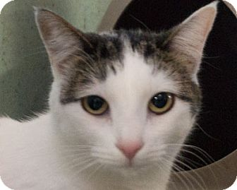 Domestic Shorthair Cat for adoption in Redwood City, California - 414246