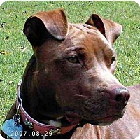 American Staffordshire Terrier Dog for adoption in Tyler, Texas - TG-Rosie