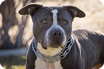Pit Bull Terrier Mix Dog for adoption in Gardnerville, Nevada - Deeter