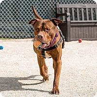 Adopt A Pet :: Cooper - Wheaton, IL
