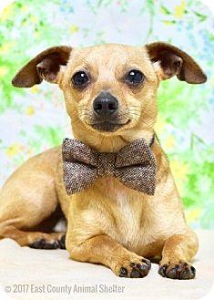 Dachshund/Chihuahua Mix Dog for adoption in Dublin, California - Rory