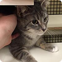 Adopt A Pet :: Moscato - Independence, MO