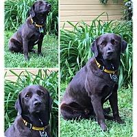 Adopt A Pet :: Ivy - Springfield, MO