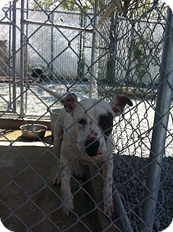 Boxer/American Pit Bull Terrier Mix Dog for adoption in Donaldsonville, Louisiana - patches