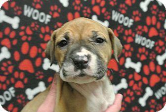 Boxer/Shepherd (Unknown Type) Mix Puppy for adoption in white settlment, Texas - Remi